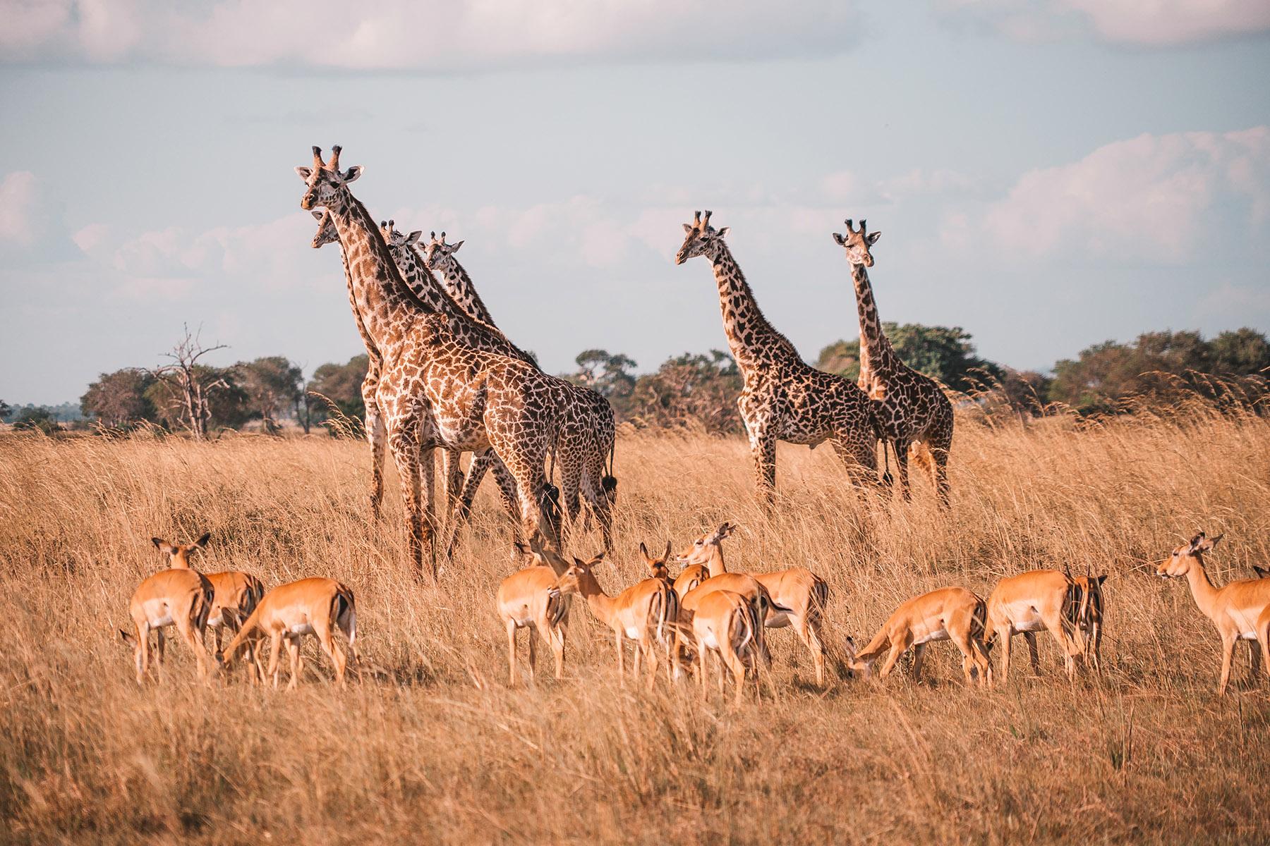 Safari in Mikumi National Park, Tanzania