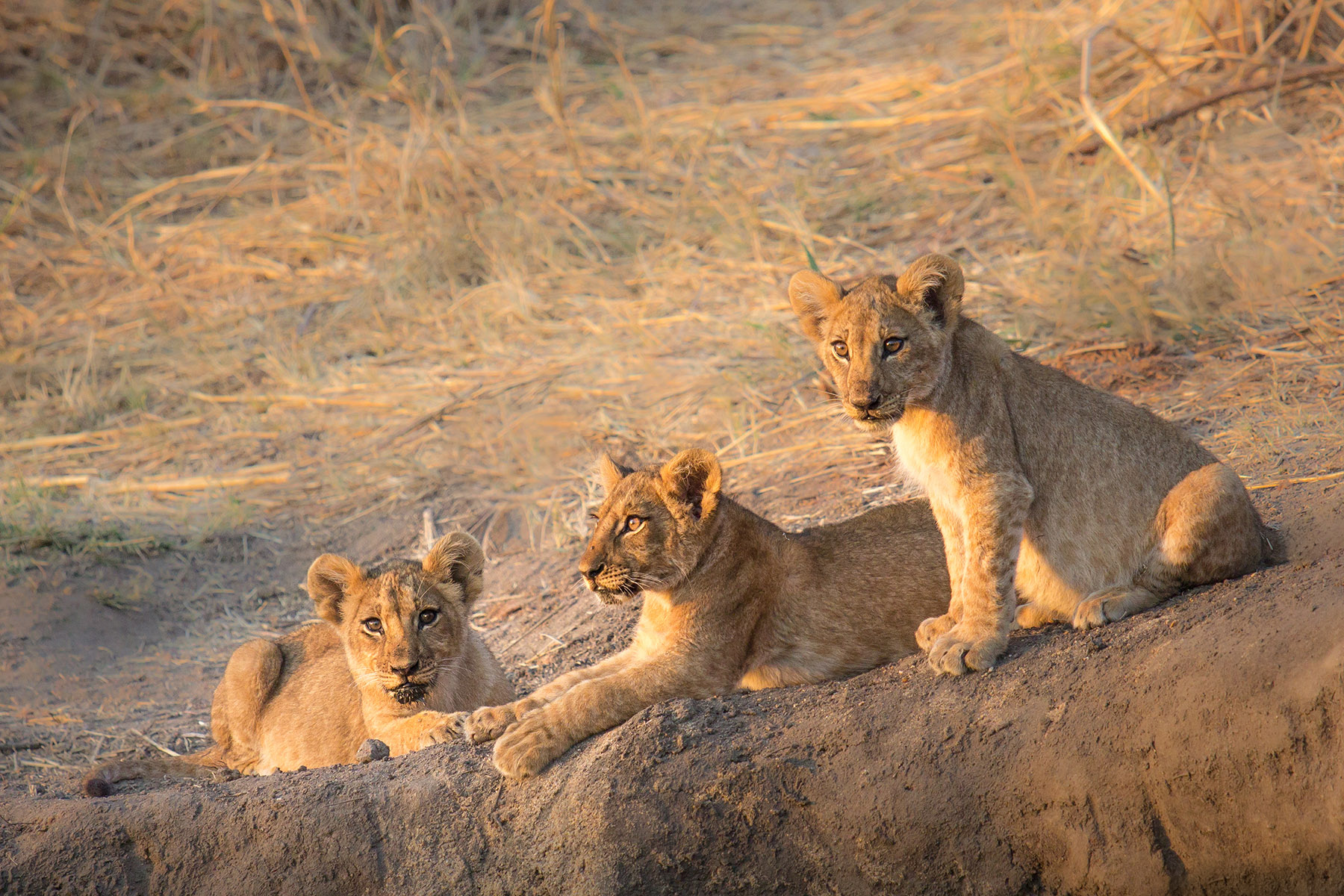 Lion cubs in morning light. Ruaha National Park, Tanzania - 20/SEP/2016
