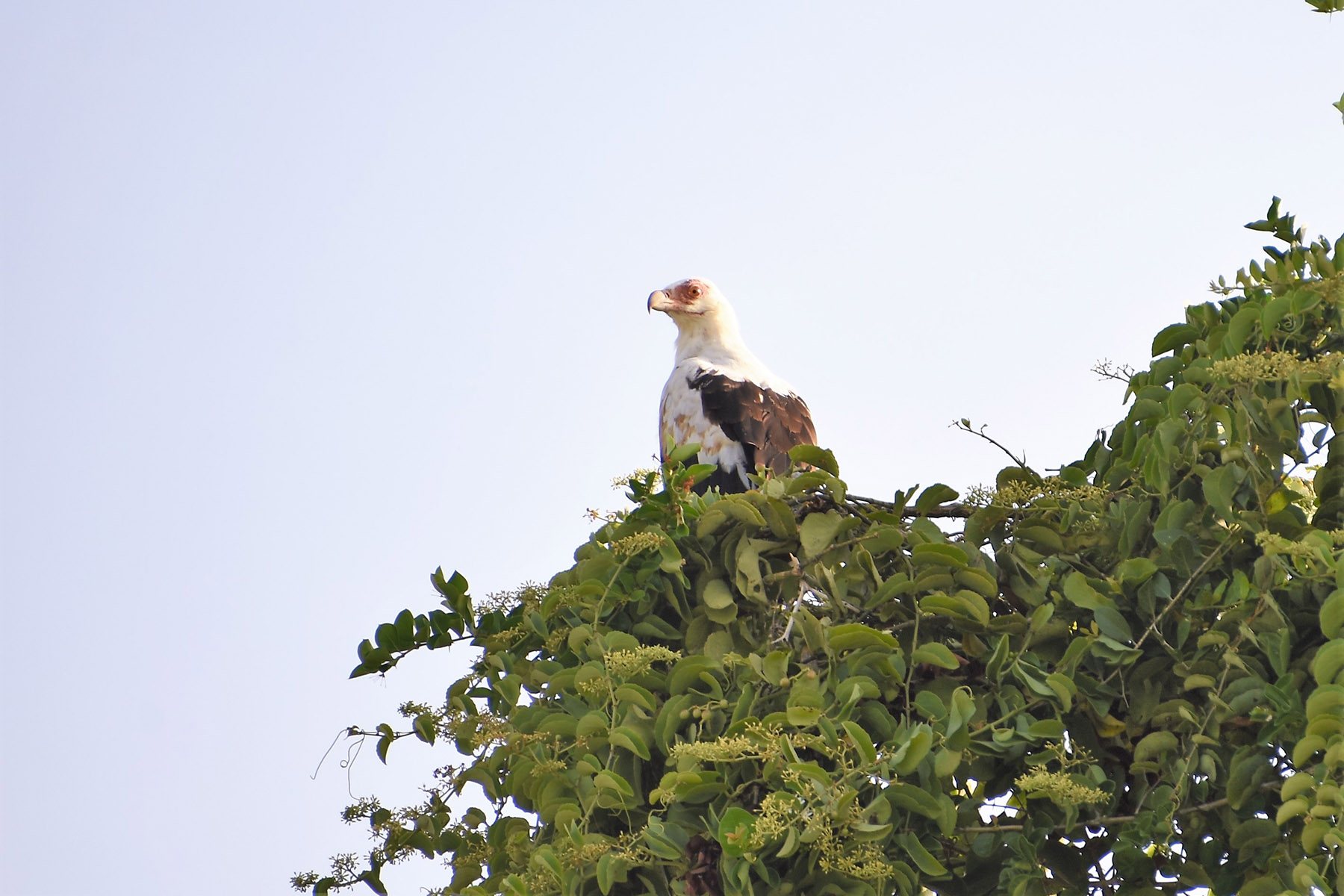 Fish eagle at the top of a green tree in front of the light blue sky in Saadani National Park in Tanzania, East Africa.