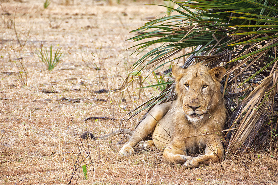 Picture of a lion lying under a tree in Selous Game reserve in Tanzania, Africa.